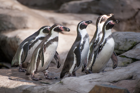 Group of African cute penguins also known as the jackass or black-footed penguin 免版税图像