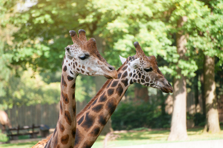 Close-up of a two giraffes on green trees background