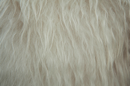 White soft sheep wool texture background. Fluffy fur.
