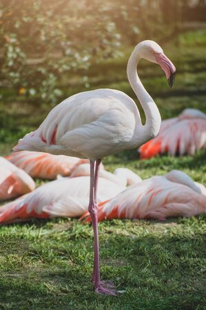 Flamingos or flamingoes at sunset. Bird in the family Phoenicopteridae. Stock Photo