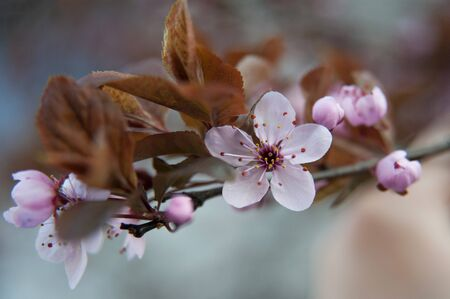 Pink  flowers of a blossoming tree. Beautiful macro photo. Cherry blossom.