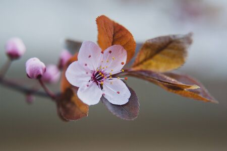 Pink  flower of a blossoming tree. Beautiful spring macro photo. Cherry blossom.