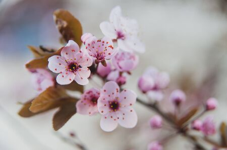 Pink flowers of a blossoming tree. Spring Beautiful macro photo. Cherry blossom.