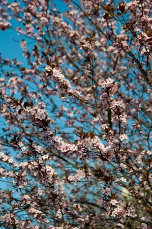 Pink  flowers of a blossoming tree. Beautiful spring background. Cherry blossom. Fine art photo Stock Photo