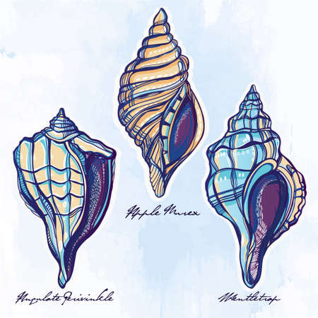 scallop: Hand drawn beautiful collection set of seashells. Isolated on watercolor. Vector illustration. Vintage sea marine life, scallop, mollusks sign. Group. Elegant summer decoration background.