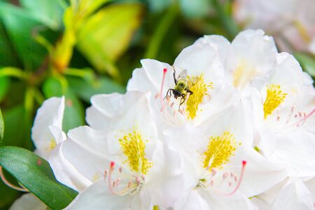 White Rhododendron Flower Bush Blooming in Springtime with Honey Bee Фото со стока