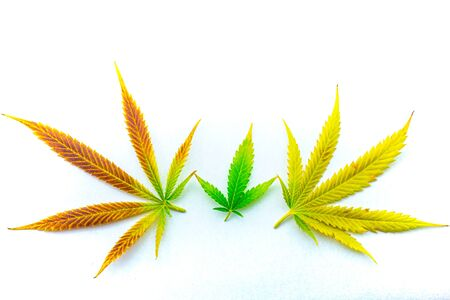 Family of rainbow colored cannabis (marijuana) leaves holding hands on white background