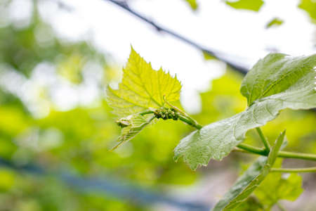 Fresh young green growing grape leaves in a vineyard garden in spring and summer