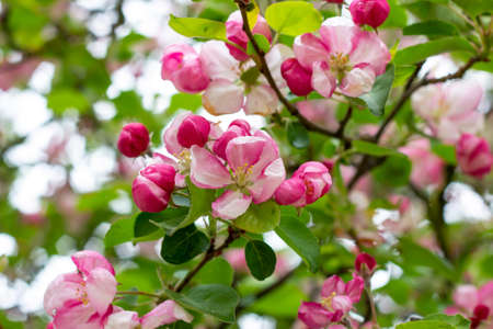Fresh white and pink apple tree flowers blossom on green leaves background in the garden in spring. Banco de Imagens