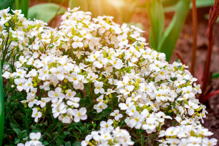 Fresh white Arabis caucasica blossoming flowers on green leaves background in the garden in spring season close up.