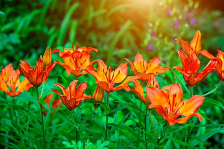 Bright orange lilly flower on green leaves in the garden in spring and summer. Stock Photo