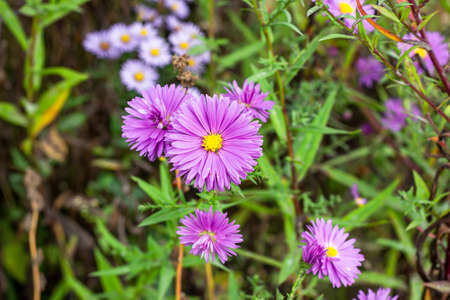 Fresh bright pink and purple aster flower in the garden on green grass background in summer and autumn. 写真素材