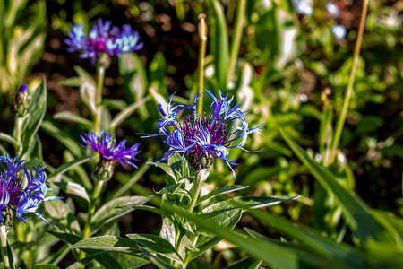 Bright blooming blue Cornflower meadow (Centaurea cyanus) on the lawn on green grass background. Archivio Fotografico