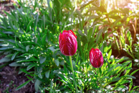 Spring red and pink tulip flowers on green grass background. Archivio Fotografico