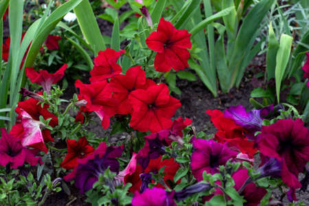 Bright pink and red petunia flowers with green leaves blossom in the garden in spring and summer season.