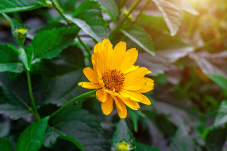 Heliopsis (False Sunflower) flower blossom with green leaves in the garden in spring and summer season. Archivio Fotografico