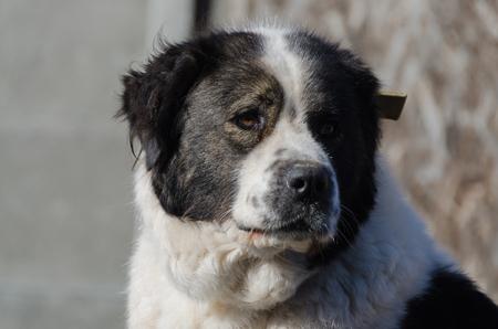 watchdog: Portrait of a big dog, Moscow watchdog