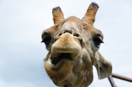 Funny portrait of a Giraffe. Close up