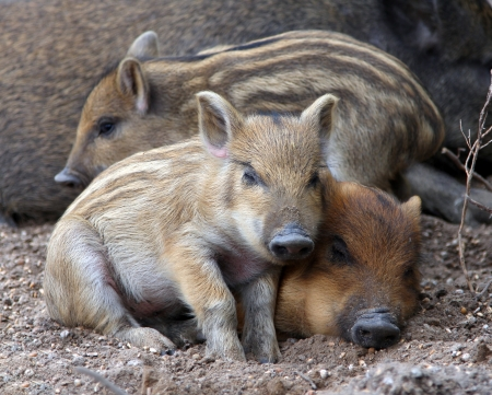 pigling: close-up wild piglets sleeping on the ground Stock Photo