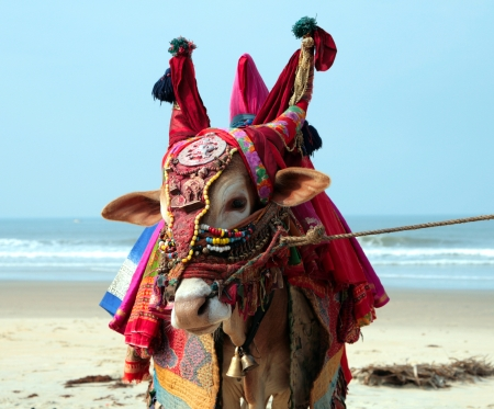 close-up Indian sacred cow on the beach in GOA