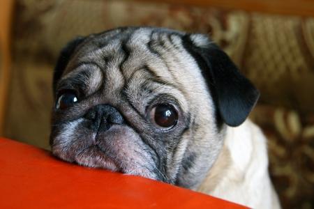 sad eyes: pug with sad eyes sitting at the table Stock Photo