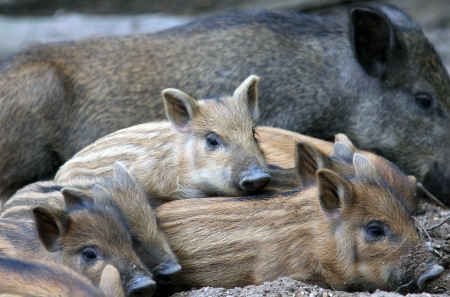 close-up wild piglets resting on the ground photo
