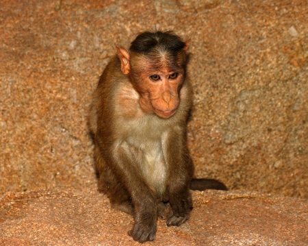 monkey with big ears closeup Stock Photo - 25028031