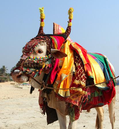 Vaca sagrada de la India en la playa de GOA Foto de archivo