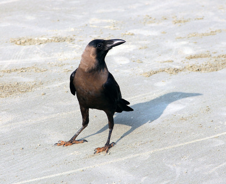 Indian House Crow  Corvus splendens  on the beach of Goa photo