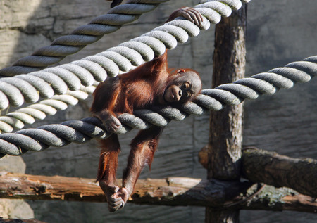 cute baby orangutan resting in aviary photo
