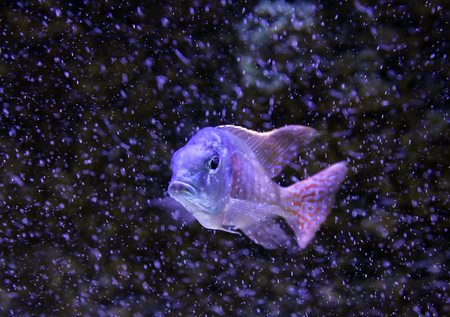 peacock cichlid: Greenface sandsifter fish (Lethrinops furcifer) swimming among bubbles