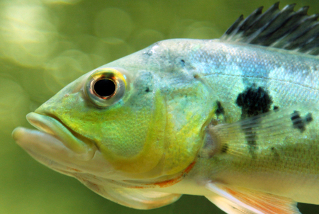 Cichla ocellaris fish (butterfly peacock bass)