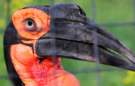 scavenger: Portrait of Southern ground hornbill (Bucorvus leadbeateri or Bucorvus cafer) in the zoo Stock Photo