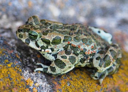 to metamorphose: European green toad (Bufo viridis)