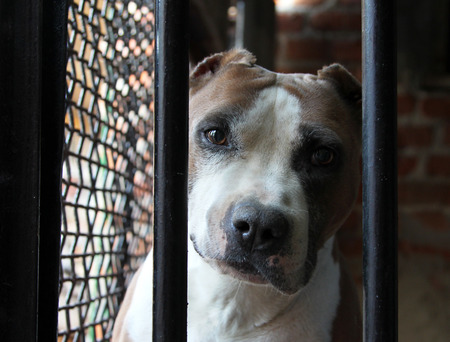 waiting convict: Portrait of American Staffordshire Terrier in a cage