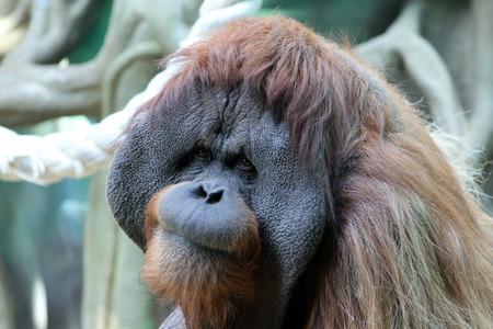 Portrait of adult male orangutan in the zoo