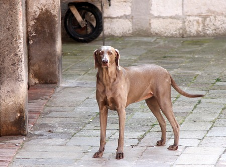 Beautiful weimaraner dog at the street of Venice