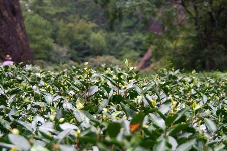 prestigious: Plantation of famous Da Hong Pao (Big Red Robe) tea in Wuyi Mountain, China