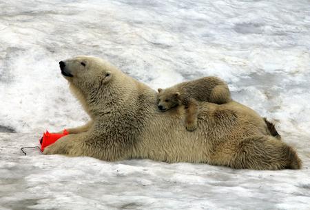 Polar bear (Ursus maritimus) with a cub on his back