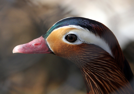 Portrait of colorful male mandarin duck (Aix galericulata) Stock Photo