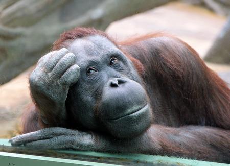 Female orangutan looks thoughtfully through the glass in the zoo