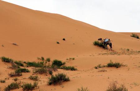 Camel in a desert, Shapotou, China