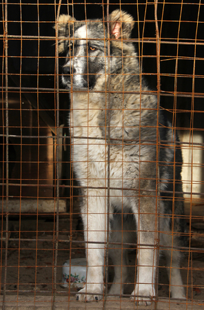 waiting convict: Young Central Asian Shepherd Dog in a cage Stock Photo