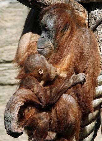 Female of Sumatran orangutan (Pongo abelii) with a baby Stock Photo