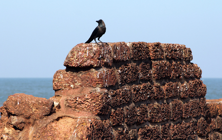 aguada: Crow on the ancient stone wall of Aguada Fort, Goa, India