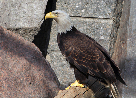 white headed: Bald eagle (haliaeetus leucocephalus) Stock Photo