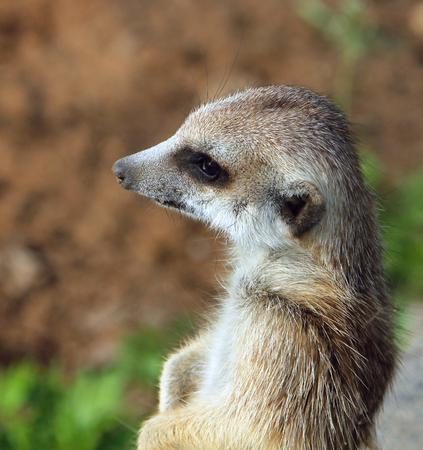 Portrait of meerkat (Suricata suricatta)