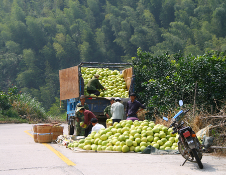 YONGDING, FUJIAN, CHINA - OCT 22, 2009: Chinese farmers loading harvest of ripe pomelo into the car