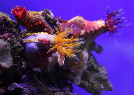 Colorful Sea apple in neon light underwater Stock Photo