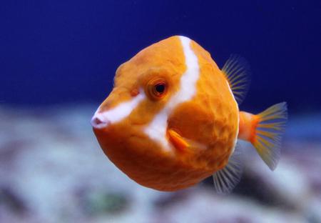 Flame or White Barred boxfish (Anoplocapros lenticularis) closeup